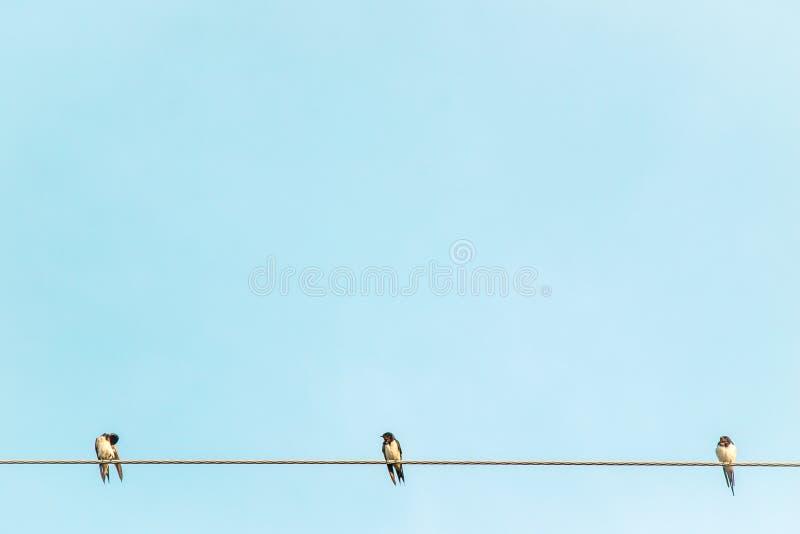 Schwarzweiss-Farbfeder-Schwalbenvögel sitzen auf Sommerumwelt des Drahtes der elektrischen Leitung ländlicher gegen Hintergrund d lizenzfreies stockbild
