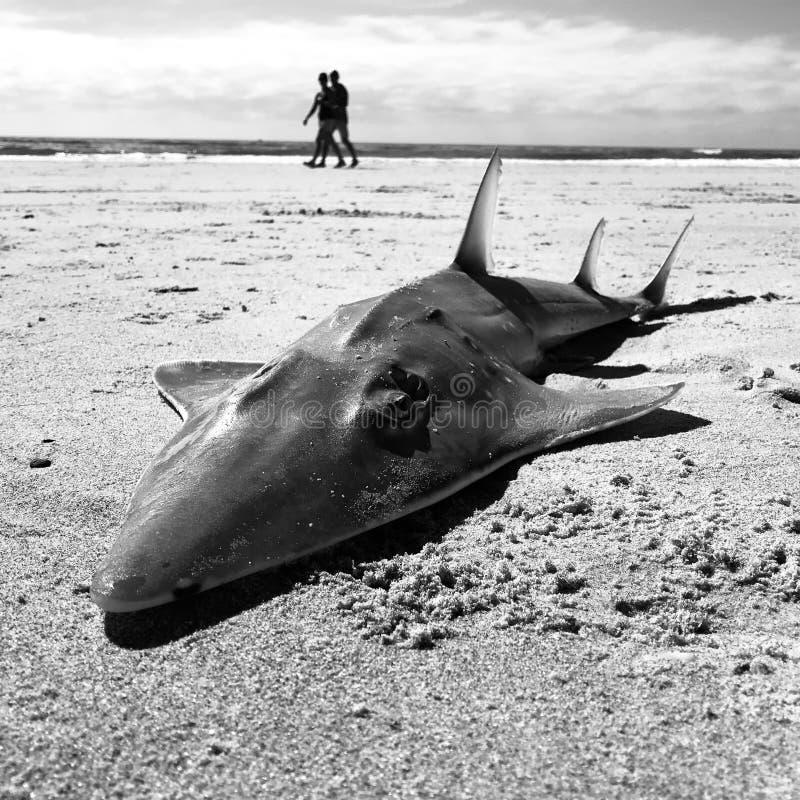 Schwarzweiss-Foto des toten Haifischs auf dem Strand mit Leuten hinter ihm stockfoto