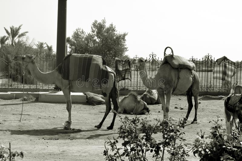 Schwarzweiss-Foto Pekings, China Afrikanische einh?ckrige Kamele oder dromedars lizenzfreie stockbilder