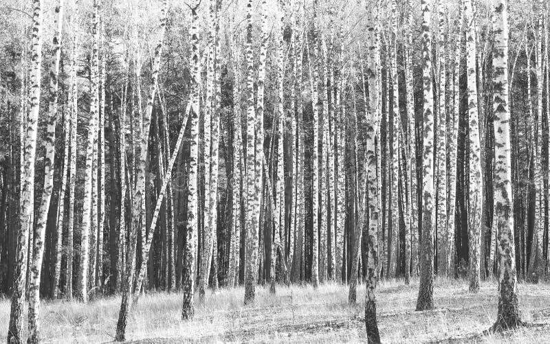 Schwarzweiss-Foto von Birken lizenzfreie stockfotos
