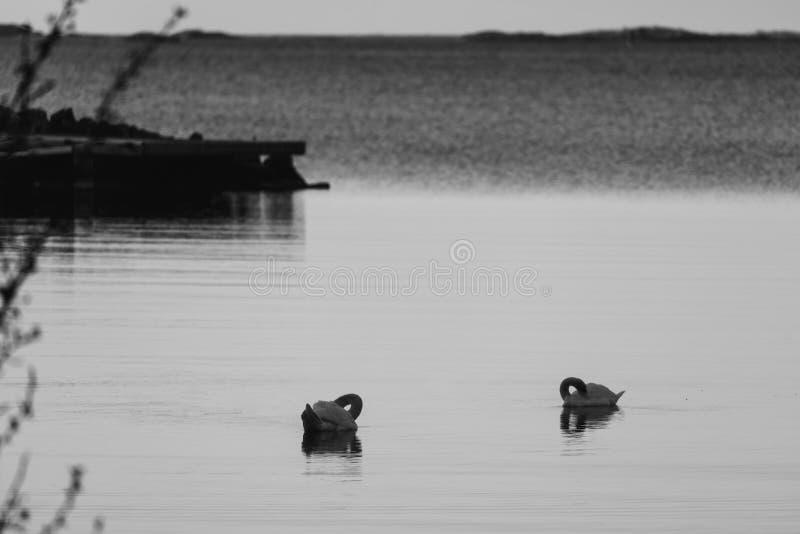 Schwarzweiss-Fotografie von zwei Schwänen auf Meer lizenzfreie stockbilder