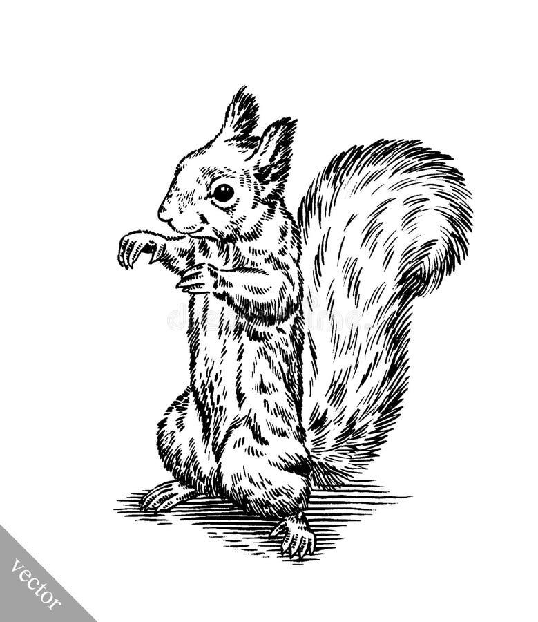 Schwarzweiss gravieren Sie lokalisierte Eichhörnchenillustration stock abbildung