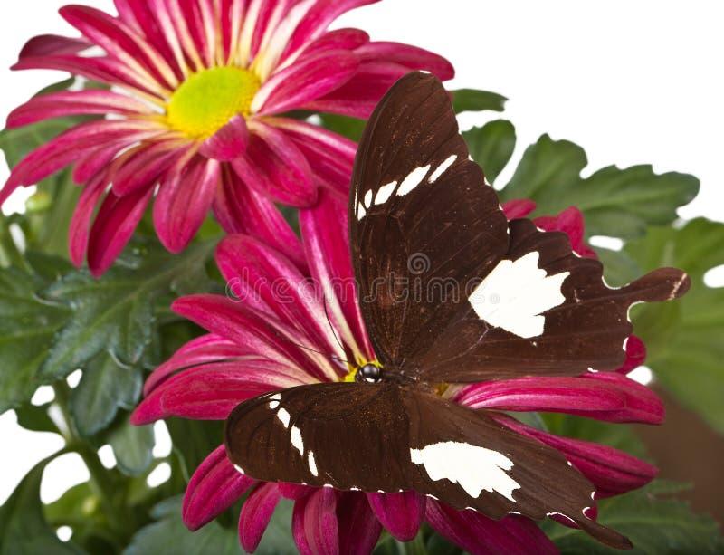 Schwarzweiss--Helen Butterfly stockfotografie