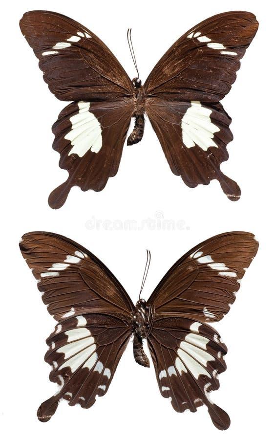 Schwarzweiss--Helen Butterfly stockfoto