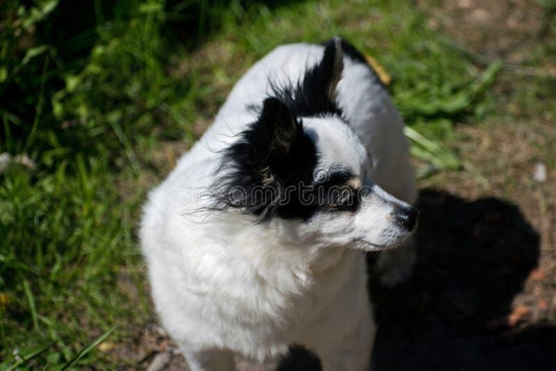 Schwarzweiss-Hund auf einem Weg in der Herbstwaldherbststimmung stockfoto