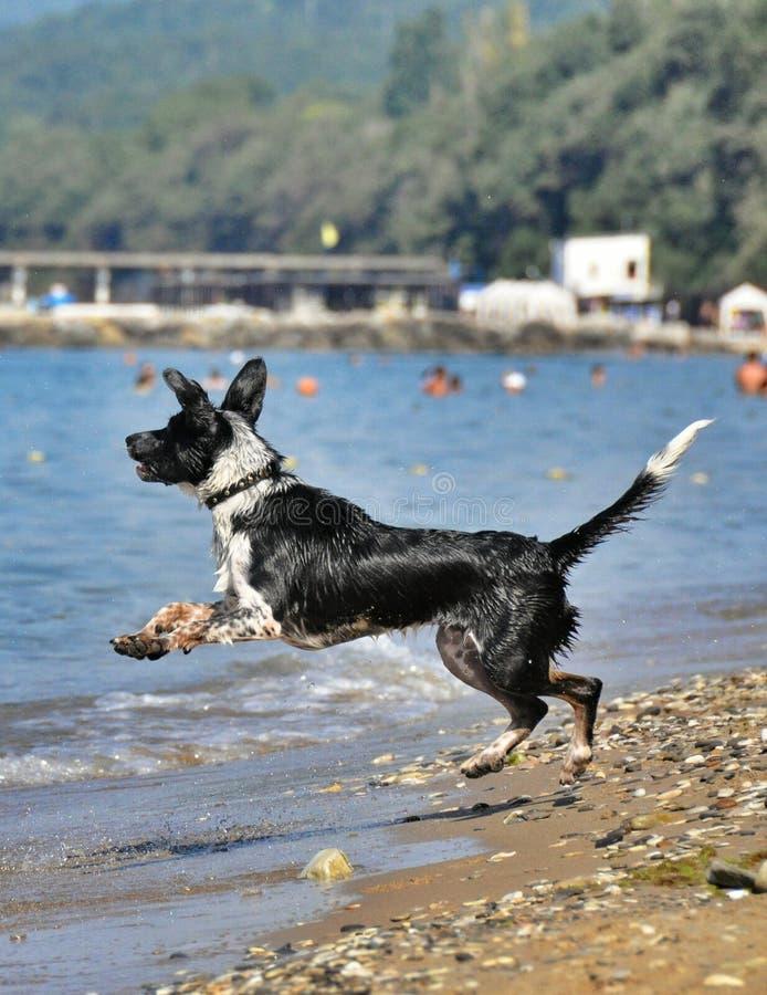 Schwarzweiss-Hund, der auf den Strand scherzt stockfotos