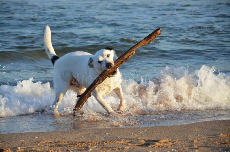 Schwarzweiss-Hund mit großem Stock am Strand lizenzfreie stockbilder