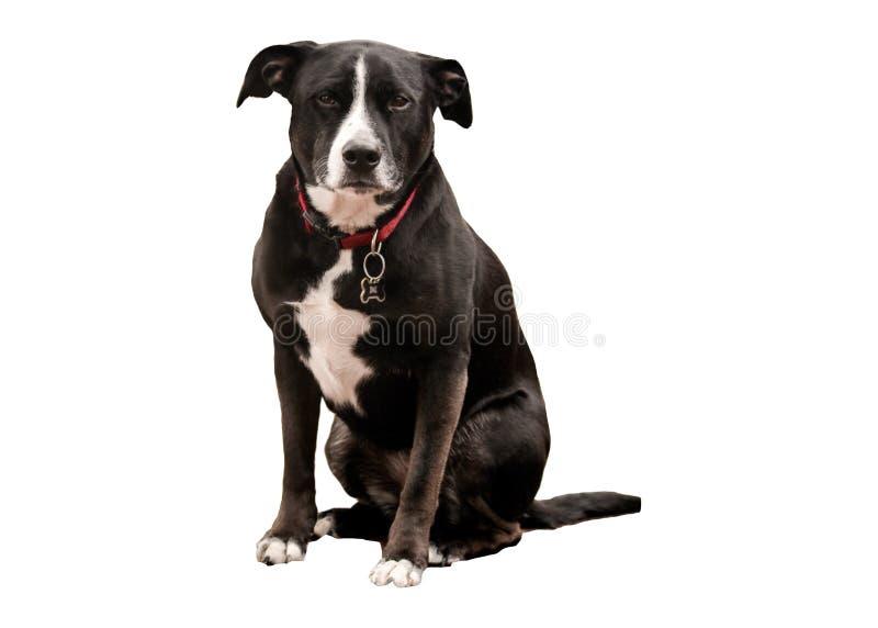 Schwarzweiss-Hund mit rotem Kragen lizenzfreie stockbilder