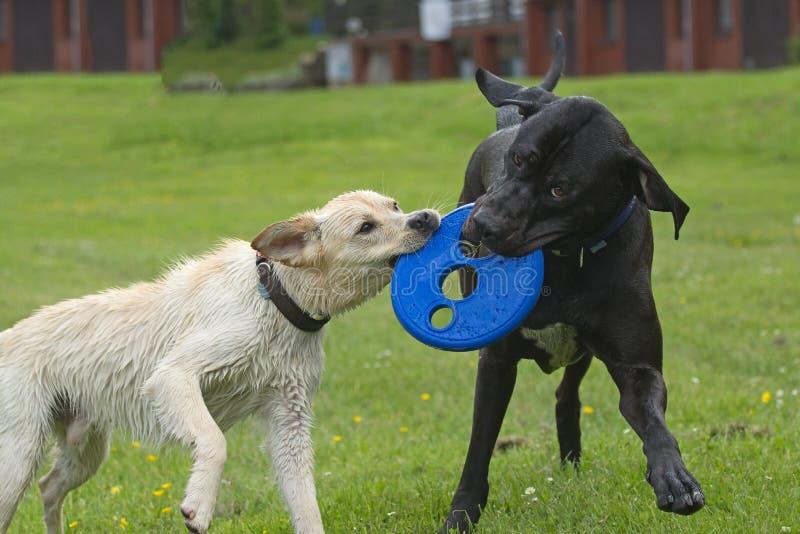 Schwarzweiss-Hundespielen stockbilder