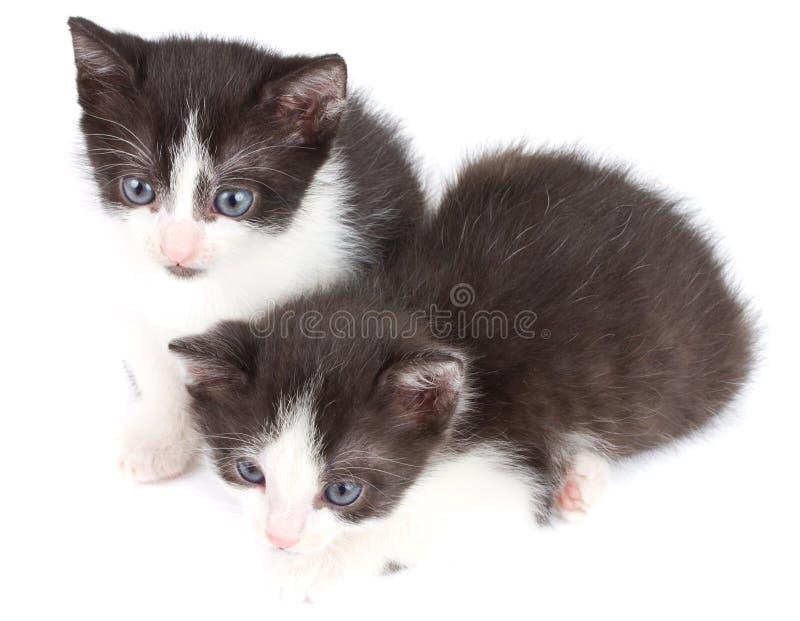 Schwarzweiss-Kätzchen lizenzfreies stockfoto