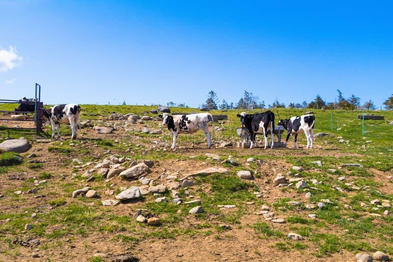 Schwarzweiss-Kühe in einem Bauernhof und schönen in einer Landschaftsansicht von stockbilder
