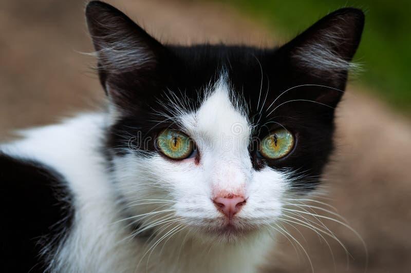 Schwarzweiss-Katze, die entlang der Blickkontaktnahaufnahme der Kamera vollen anstarrt stockfotografie