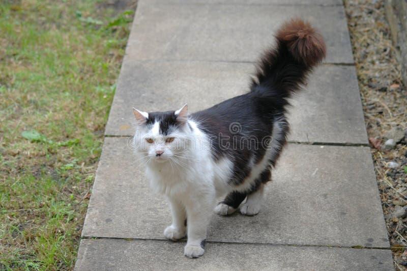 Schwarzweiss-Katze, die hinunter den Gartenweg struting ist lizenzfreie stockfotos