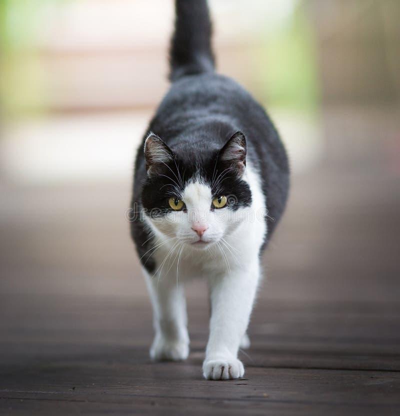 Schwarzweiss-Katze, die Kamera betrachtet lizenzfreie stockfotografie
