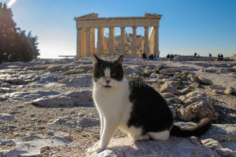 Schwarzweiss-Katze, die vor Parthenonostfassade in der Akropolise, Athen, Griechenland ein Sonnenbad nimmt stockfotografie