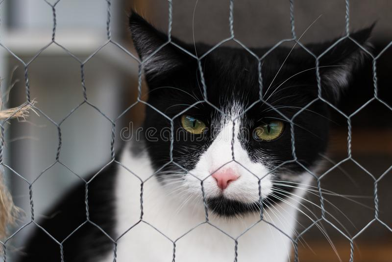 Schwarzweiss-Katze hinter einem Metallzaun anstarrend entlang der Kamera stockbild