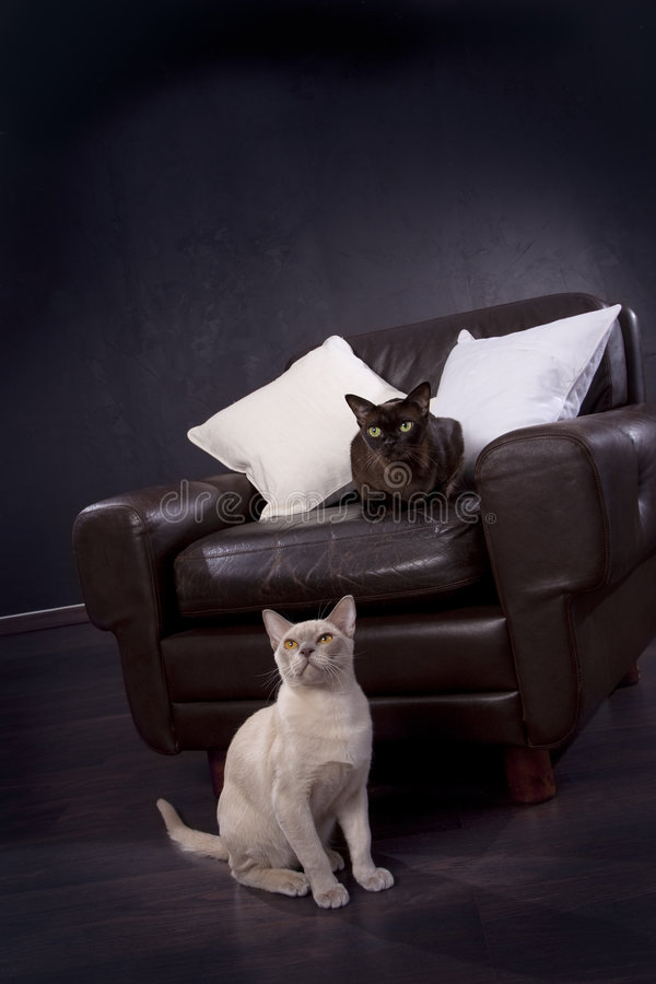 Schwarzweiss-Katzen stockfoto