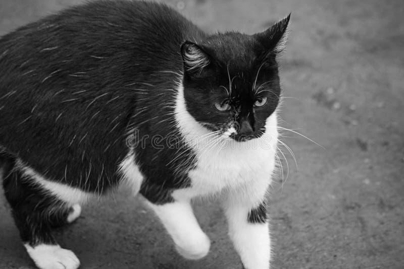 Schwarzweiss-Katzenkommen stockfotografie