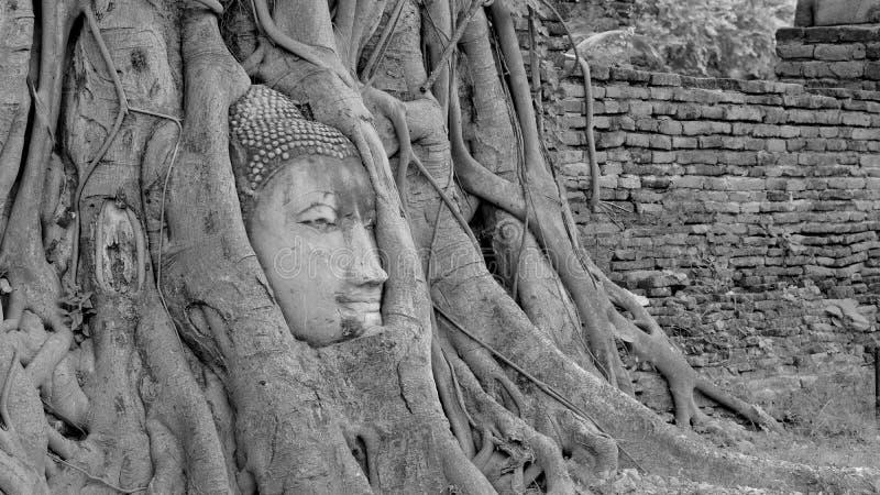 Schwarzweiss-Kopf von Buddha-Bild im Baum wurzelt bei Wat Mahath stockfotos