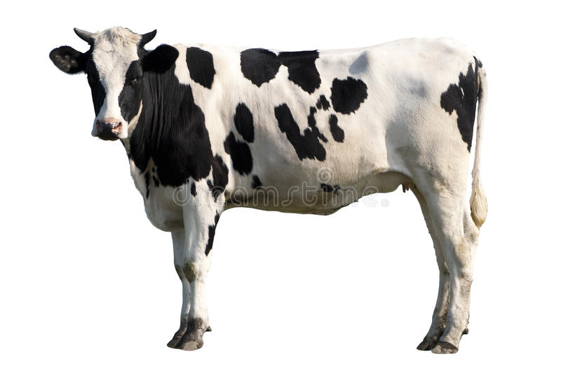 Schwarzweiss-Kuh stockfoto