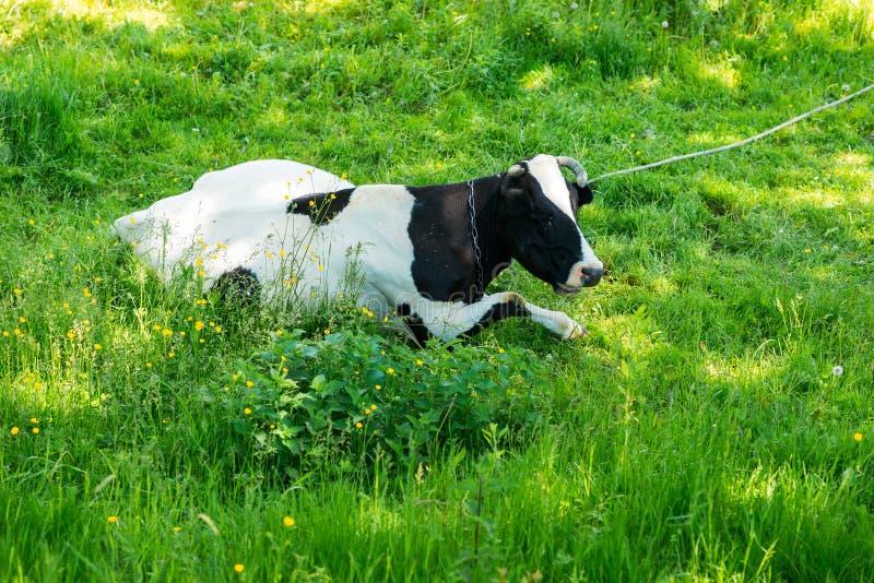 Schwarzweiss-Kuh, die auf Wiese in den Bergen weiden lässt Vieh auf einer Sommerweide Sonniger Tag des Sommers Kuh in der Weide B stockbild