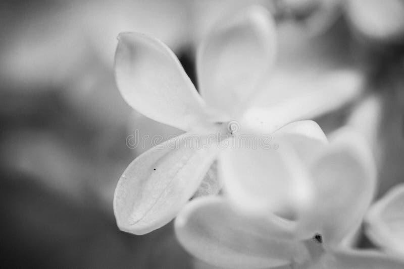 Schwarzweiss-Makroschuß der Flieder lizenzfreie stockbilder