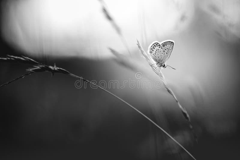 Schwarzweiss-Naturhintergrund Schmetterlings- und Graswiese stockfotos
