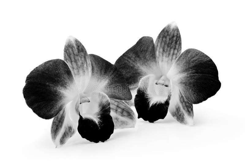 Schwarzweiss-Orchideen-Blume auf weißem Hintergrund stockfoto