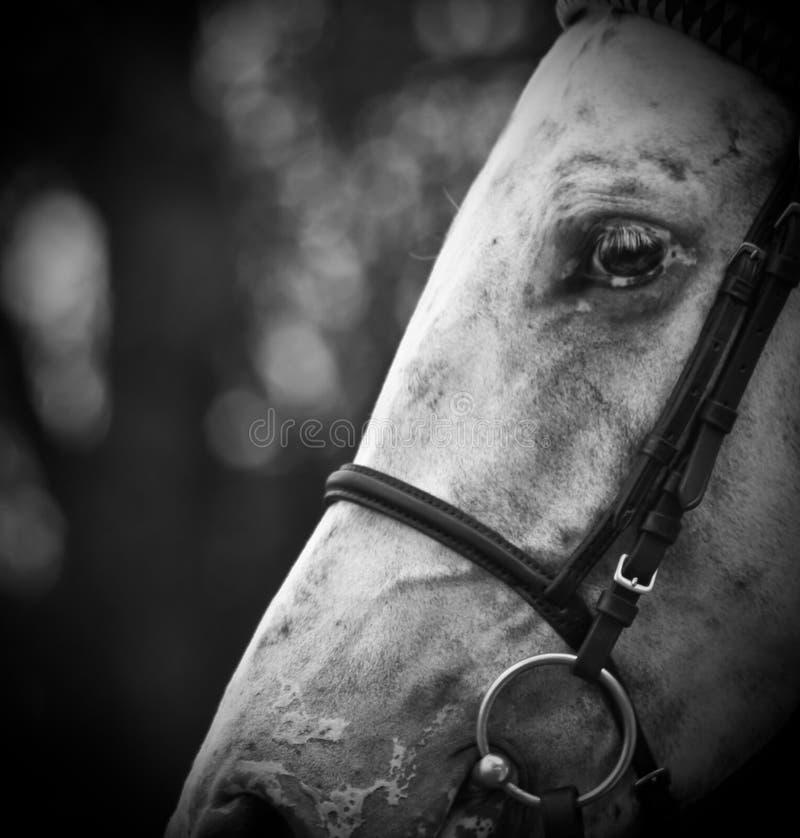 Schwarzweiss-Pferd stockfotos