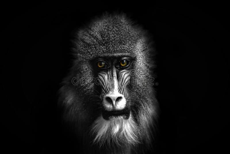 Schwarzweiss-Porträt eines Pavianaffen mit farbigen Augen stockbilder