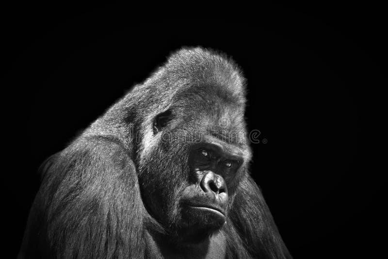 Schwarzweiss-Porträt im Profil eines erwachsenen männlichen Gorillas stockbilder