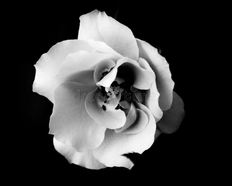 Schwarzweiss-Rose stockbild