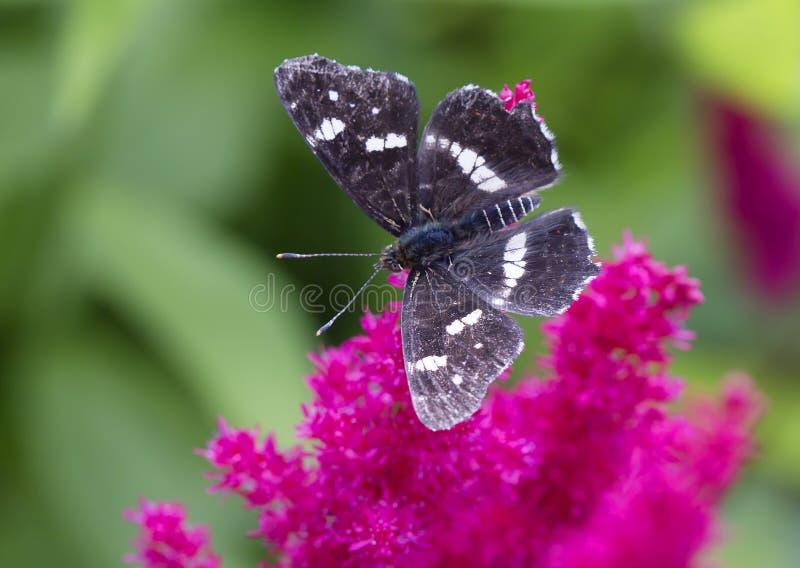 Schwarzweiss-Schmetterling auf einer roten Blume lizenzfreie stockfotos