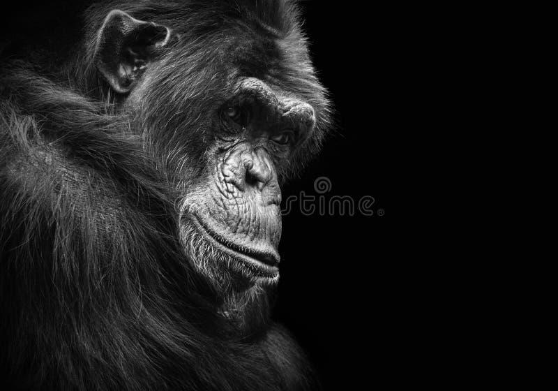 Schwarzweiss-Tierporträt eines Schimpansen mit nachdenklichen Starren lizenzfreie stockfotos