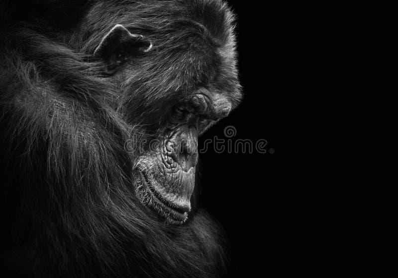 Schwarzweiss-Tierporträt eines traurigen und deprimierten Schimpansen in der Gefangenschaft stockfotografie