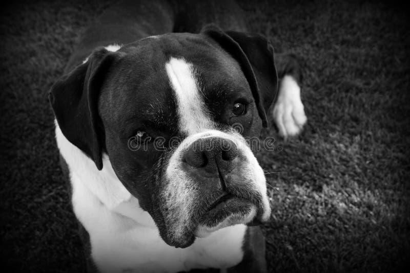 Schwarzweiss vom Boxer-Hund, der auf Gras niederlegt stockbilder