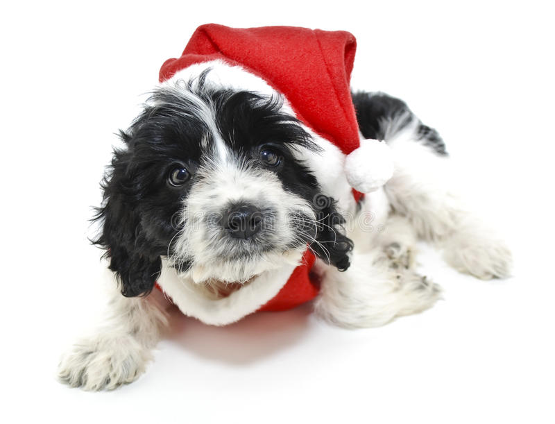 Schwarzweiss-Weihnachtswelpe lizenzfreie stockfotos