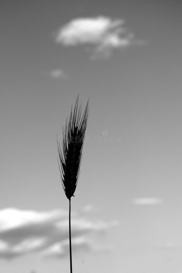 Schwarzweiss-Weizenähren stockfoto
