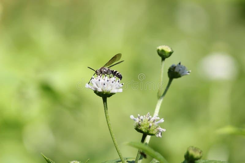 Schwarzweiss-Wespe stockfoto