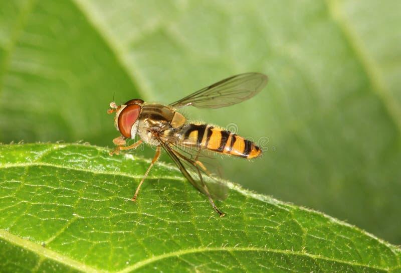 Schwebeflug-Fliege stockfoto