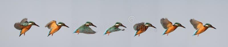 Schwebende Eisvogel-Reihenfolge lizenzfreies stockfoto