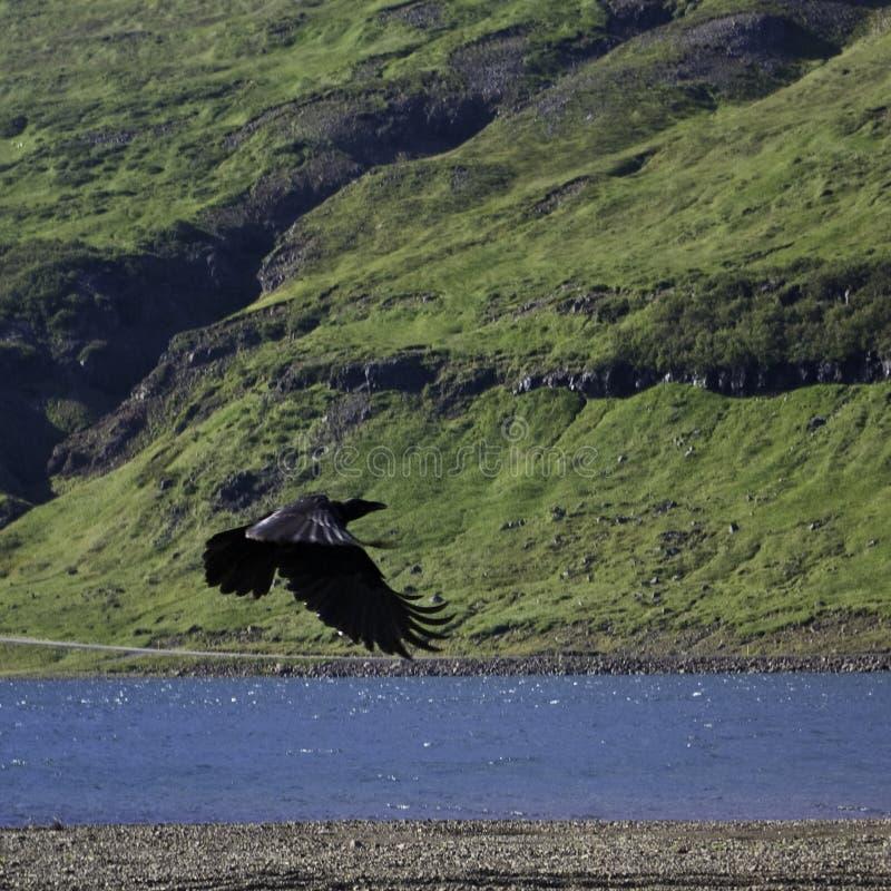 Schwebender Rabe in einem isländischen Tal stockfotografie