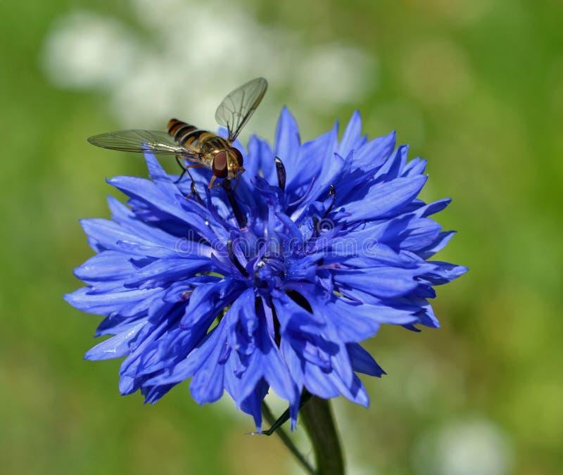 Schwebfliege auf einer Mais-Blume lizenzfreies stockbild