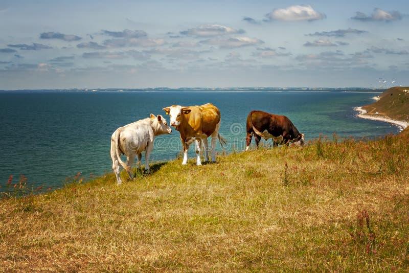 Schwedische Kühe auf Clifftop lizenzfreie stockfotos