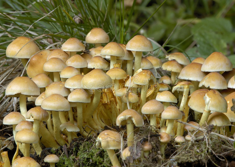 Schwefel-Büschel-Pilze lizenzfreie stockfotografie