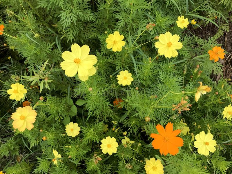 Schwefel-Kosmos-Blumen stockbilder