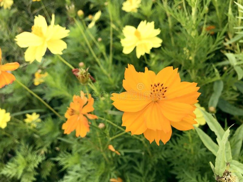 Schwefel-Kosmos-Blumen lizenzfreie stockfotos