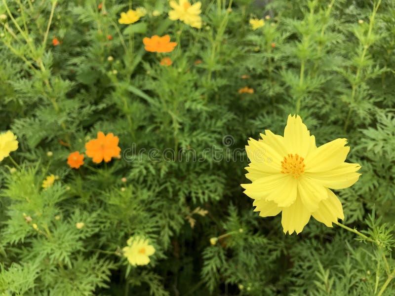 Schwefel-Kosmos-Blumen stockbild