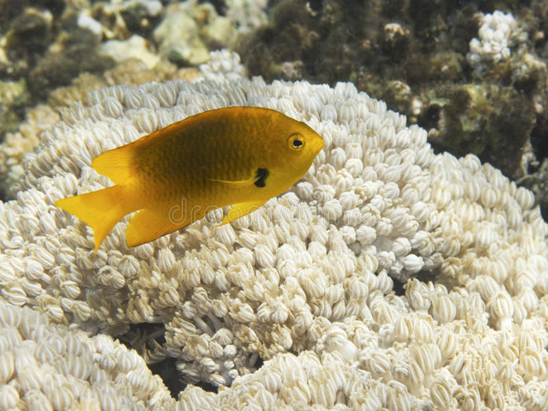 Schwefel-Maid über Korallen stockfoto