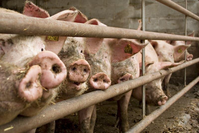 Schwein lizenzfreie stockbilder
